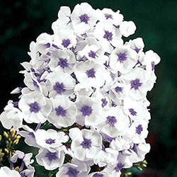 Blue Ice Tall Hybrid Phlox