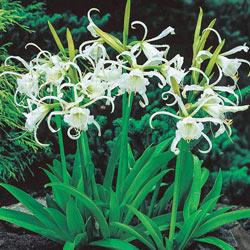 Peruvian Daffodil - Plant