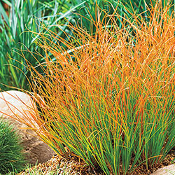 Prairie Fire Sedge