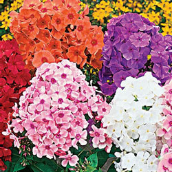 Tall Phlox Mix Super Bag