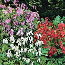 Fernleaf Bleeding Heart Mix