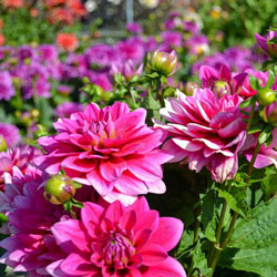 Mixed Border Dahlias