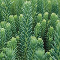 Blue Spruce Sedum