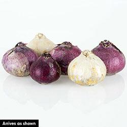 Jumbo Mixed Hyacinths Super Bag