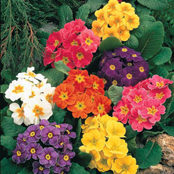 Mixed Hardy English Primrose