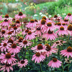 Everblooming Purple Coneflower