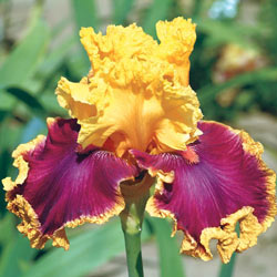 Decadence Bearded Iris