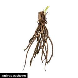 Dwarf Daylilies