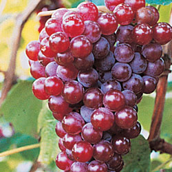 Red Canadice Seedless Grapes