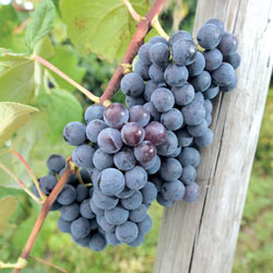Blue Concord Seedless Grapes