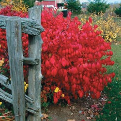 Dwarf Burning Bush Hedge Michigan Bulb