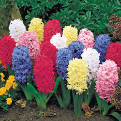 Jumbo Mixed Hyacinths Super Bag
