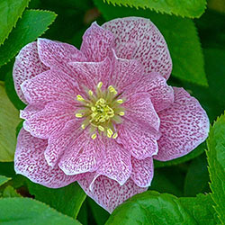 Wedding Crasher Hellebore
