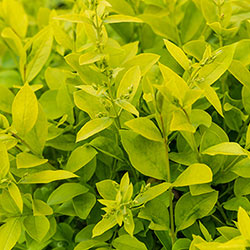 Golden Vicary Privet
