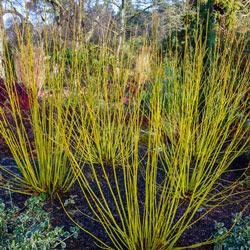 Yellow Twig Dogwood Hedge
