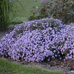 Lavender Kickin® Aster