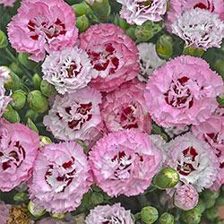 Appleblossom Burst Dianthus