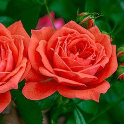 Jolie™ Veranda® Rose
