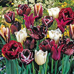 Mysterious Tulip Medley