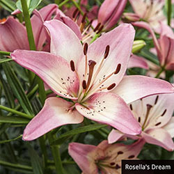 Asiatic Lily Collection