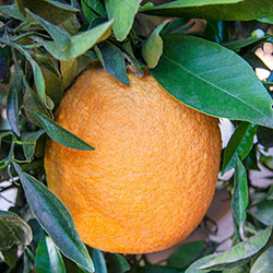 Navel Orange Citrus Tree