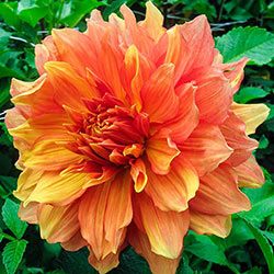 Dinnerplate Dahlia Mango Madness