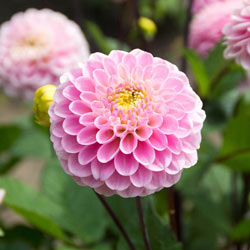 Wizard Of Oz Pompom Dahlia