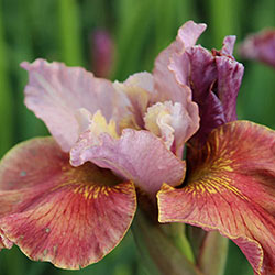 Fancy Me This Siberian Iris