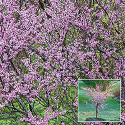 Redbud Flowering Tree Starter Pack