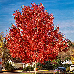 Red Maple Fall Color Starter Pack