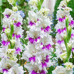 Gladiolus Bulbs