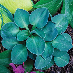 Blue Mouse Ears  Hosta