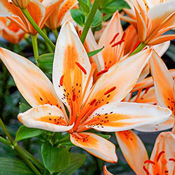 Orange Electric Asiatic Lily