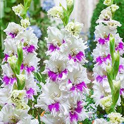 Gladiolus Trio