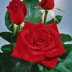 Olympiad<sup>&trade;</sup> Hybrid Tea Rose