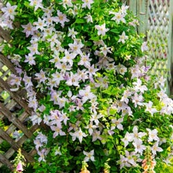 Blue Angel™ Clematis
