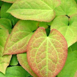 Orange Queen Epimedium