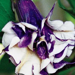 Purple People Eater Angel Trumpet