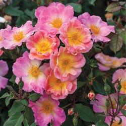 Watercolors Home Run Tree Rose