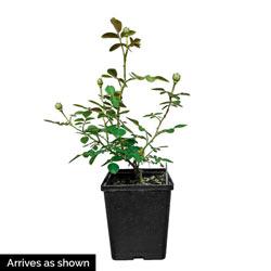 Koko Loko ™ Floribunda Rose