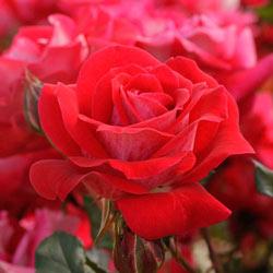 Take It Easy ™ Shrub Rose
