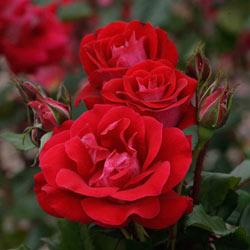 Take It Easy ™ Rose