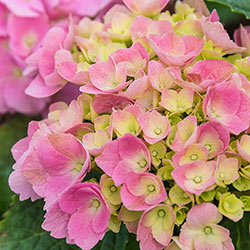 Early Sensation Hydrangea