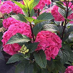Rosy Outlook Hydrangea