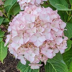 Vintage Blush Hydrangea