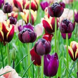 Royal Burgundy Tulip Blend