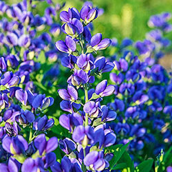 Baptisia Sampler Of Three