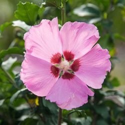 Aphrodite Pink Hardy Hibiscus Tree Michigan Bulb