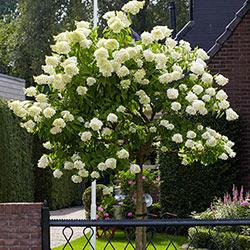 Peegee Hydrangea Tree
