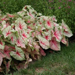 White Queen Caladium